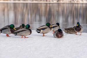 grupp gräsand ankor på vintern foto