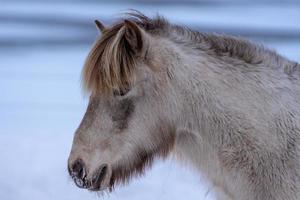 palomino isländsk häst foto