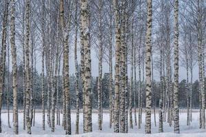 björkar och snö foto