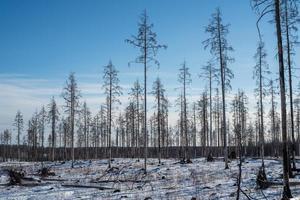 kvarvarande döda träd efter en skogsbrand foto