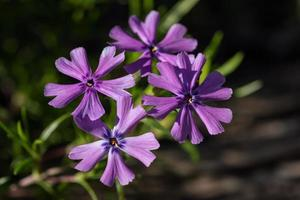 lila flox blommor foto
