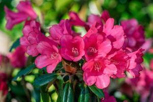 närbild av rosa rododendronblommor foto