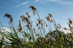 högt gräs mot den blå himlen foto