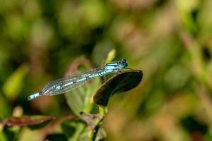 blå slända sitter på en blåbär buske foto