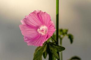 närbild av en rosa mallowblomma foto