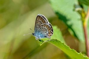 blå bevingad fjäril foto