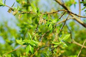 gröna blad på en trädgren med en suddig bakgrund foto