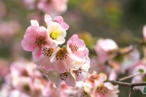 närbild av chaenomeles japonica, eller japansk kvitten eller maulens kvittenblommor med en suddig bakgrund foto