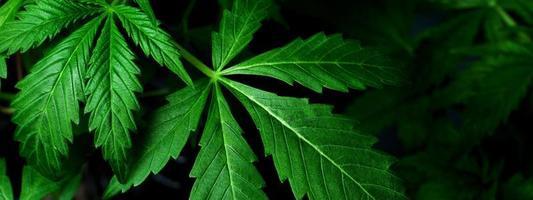 gröna marijuana blad, cannabis medicinalväxt på mörk bakgrund. foto