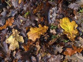 ekbladskull på ett skogsgolv på senhösten foto