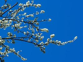 vit svarttorn blommar på grenar mot en blå himmel foto