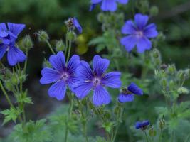 blåkronblommig pelargonblommor i en sommarträdgård foto