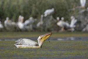 stor vit pelikan - pelecanus onocrotalus, crete foto