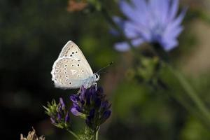 polyommatus daphnis eller meleageria daphnis - meleager's blue, greece foto
