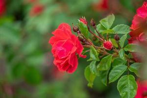 närbild av röda rosor med en suddig grön bakgrund av löv foto