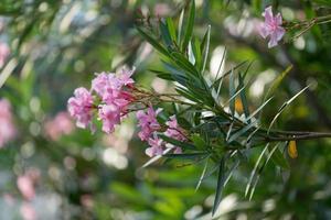 rosa oleander blommor på en buske med en suddig grön bakgrund foto