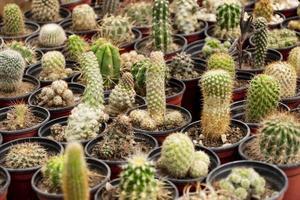 närbild kaktusar i krukor foto