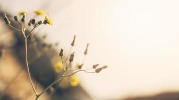 närbild gul blomma med knopp foto