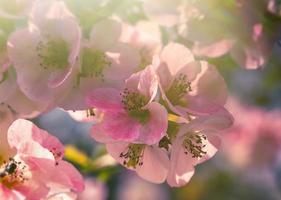rosa kronblad av vårblommor på långa grenar foto