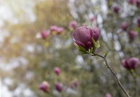 rosa magnoliablommor i vårträdgård foto