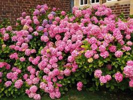 hortensia buske täckt av täta rosa blommor i en trädgård foto