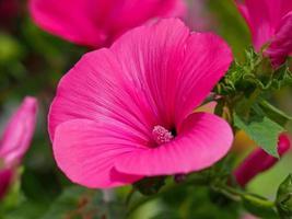 vacker rosa träd mallow blomma, lavatera trimestris ruby regis foto