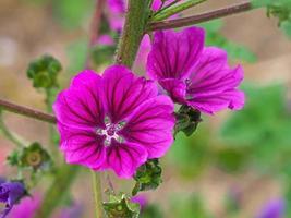 vackra rosa lila mallow blommor, malva sylvestris foto