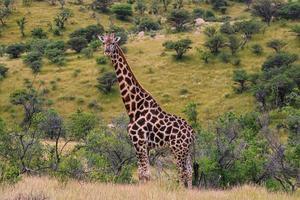 porträtt av en giraff foto