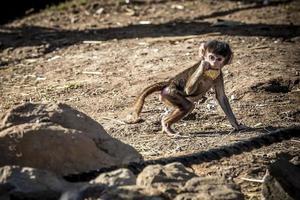 en babadamadryas babian som äter mat utomhus på smuts nära stenar foto