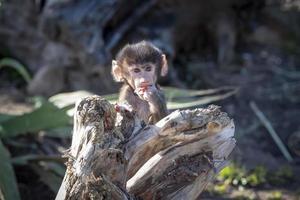 en babadamadryas babian som leker och äter på ett fallet träd foto