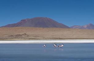 flamingor i bolivia laguna foto