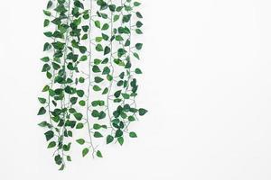 murgröna av murgröna foto
