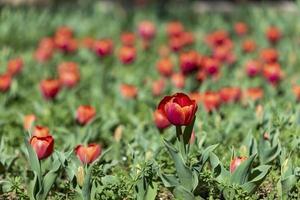 röda tulpaner på våren foto