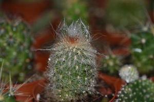 lurvig grön kaktus foto