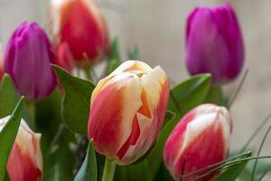 röda och lila tulpaner i fältet foto