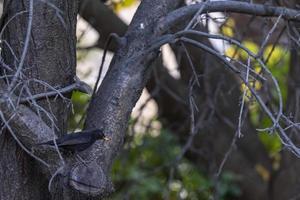 svartfärgad fågel i sin naturliga livsmiljö foto
