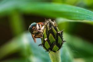 närbild på en hästfluga som kikar bakom en blomma foto