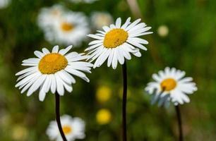 grupp av marguerite blommor i solljus foto