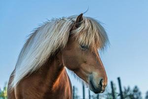 isländsk häst i kvällssolljus foto