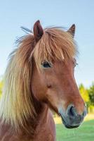 porträtt av en kastanjfärgad isländsk häst foto