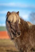 porträtt av en brun isländsk häst foto