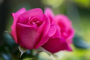 närbild av rosa rosor foto