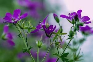 närbild av en grupp lila blommor foto