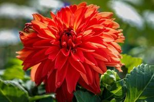 levande orange dahlia blomma i full blom foto