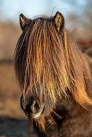 isländsk häst med man som täcker ögonen foto