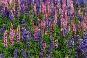 fält av färgglada lupinblommor i solljus foto