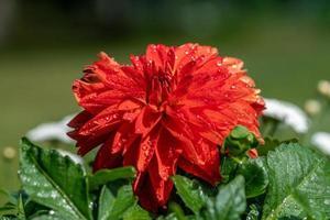 röd dahlia blomma foto
