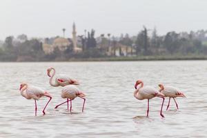 promenader flamingos vid larnaca salt-lake, cypern foto