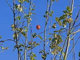 enda moget äpple i ett äppelträd foto
