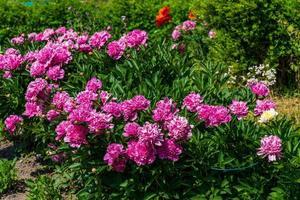 rosa grupp av blommor foto